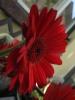 Oma's Lieblingsblume