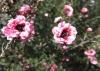 Blüte an der shelley beach