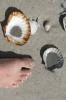 Pilgerfüße und -Muscheln...