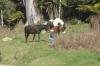ein Apfel in der Hand hilft beim Kontakt mit Wildpferden ungemein...