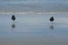 Einbeinige Strandhüpfer... erst wenn man wirklich ZU nahe kommt, holen sie das zweite Bein raus und hauen ab...