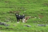 Kühe müssen hier ziemlich geländegängig sein! Aber unsere Augen haben sich immer noch nicht an scharz-weiße Friesenkühe unter Palmen gewöhnt...