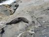 Und da waren sie ploetzlich! Die Seeloewen! Und dann gleich auch noch sooo schoen posieren!