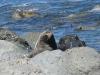 Die Seeloewen hatten wirklich keine Angst und schienen eher zu posieren - oder einfach weiter zu pennen...