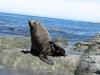 Wenn sie sich nicht auf den Felsen ranzen (raekeln), schubbern, kratzen und massieren sie sich - im naechsten Leben will ich Seeloewe werden...  ;o)
