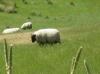 Das schwarze Schaf!