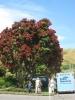 Pohutukawa, der NZ-Weihnachtsbaum