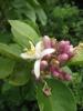 Zitronenblueten in unserem Garten