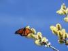 Die ganze Weide ist voller ruesselnder Monarchen