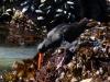 Ein einbeiniger Huepfer auf Muschelsuche...